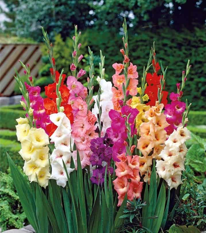 10 Bulb Garden Design Ideas: Qué Significa La Flor Del Gladiolo