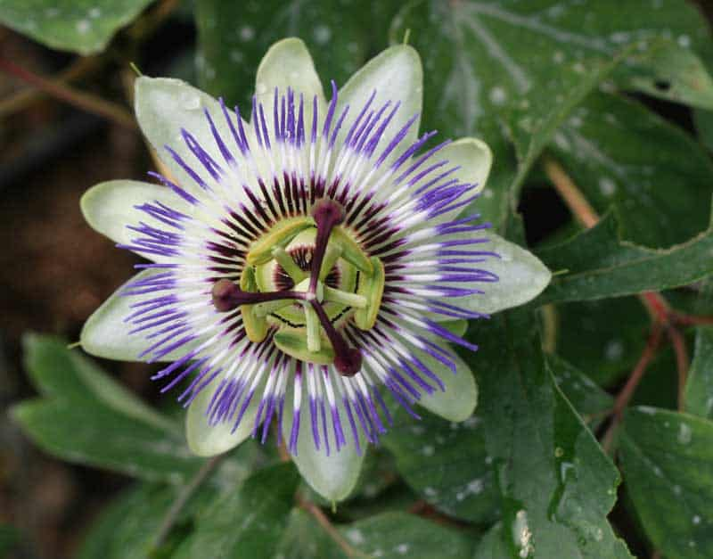 Passiflora careulare