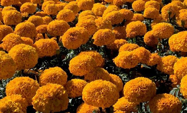 campo de flores de Cempasuchill