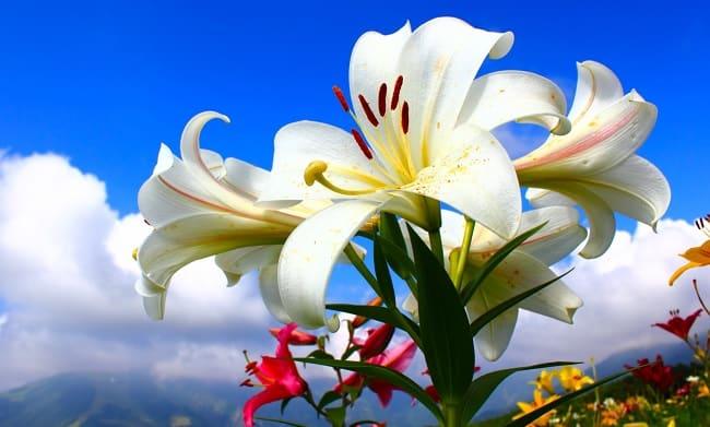flor lilum