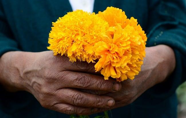 regalar flores de Cempasuchill