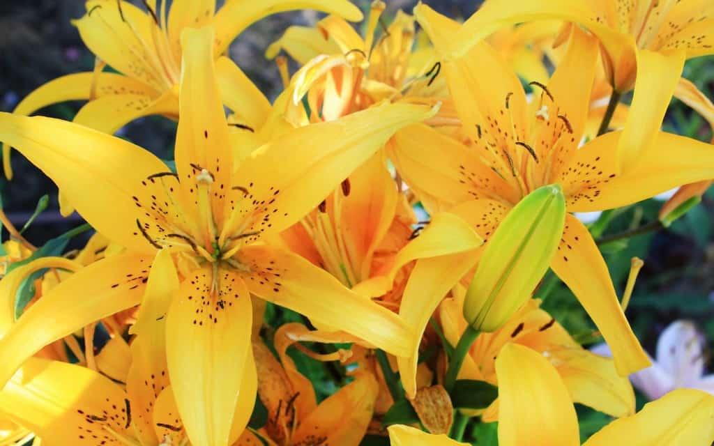 68015_Flores-Amarillas_00