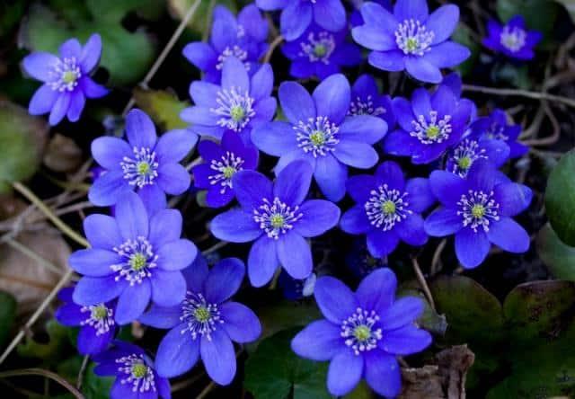 flores-azules-1