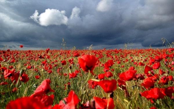 flores-rojas-1