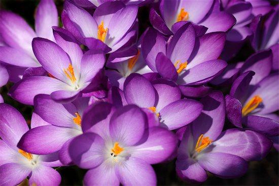 Significado De La Flor Morada