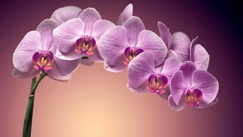 horoscopo-chino-flores-de-buena-suerte