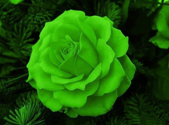 significado de las flores de color super negro