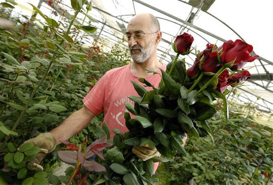 cultivando-rosas