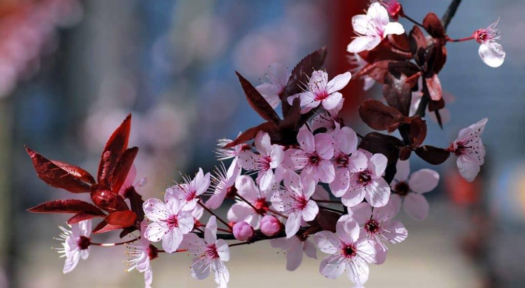 Significado De La Flor De Cerezo