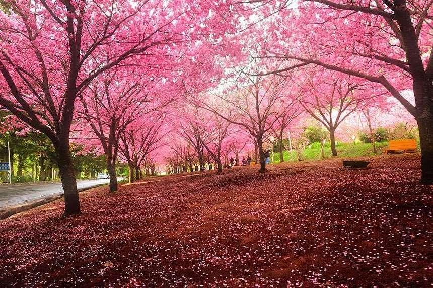 paisaje-flor-del-cerezo