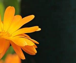 flores naranjas y significado