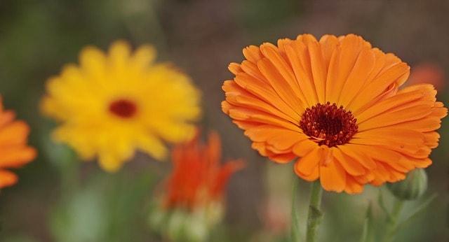 significado flor naranja