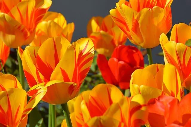 significado tulipanes