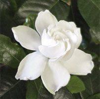 13 gardenias