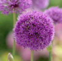 25 cebollas ornamentales