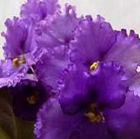 27 violetas