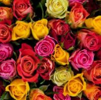 38 rosas de colores