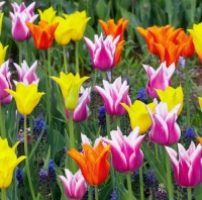 39 tulipanes