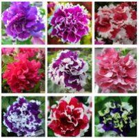 8 petunias