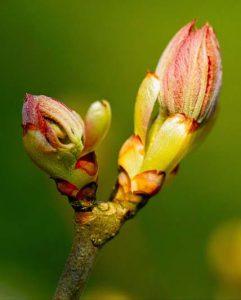 Chestnut Bud - flor de bach