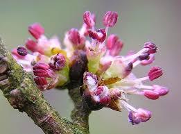 Elm - flor de bach