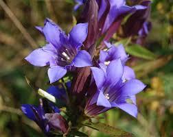 Gentian - flor de bach