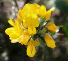 Gorse - flor de bach