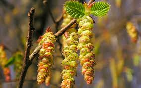 Hornbeam - flor de bach