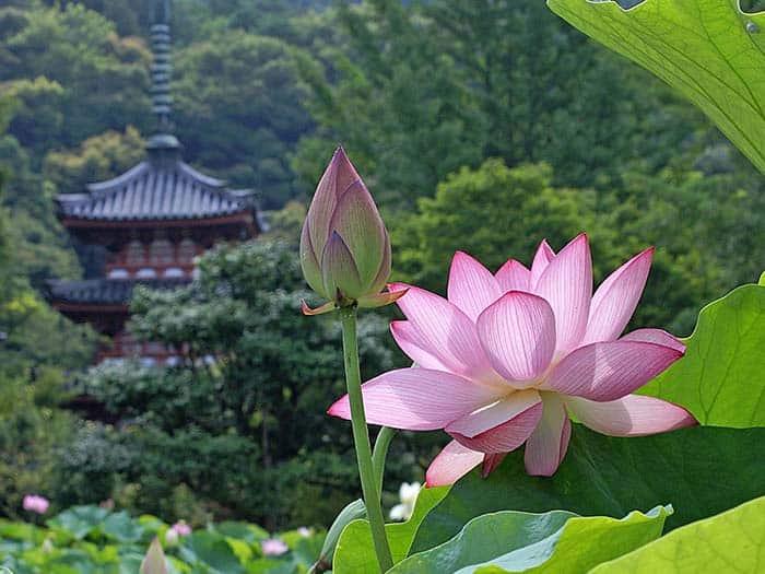significado de la flor de loto en china