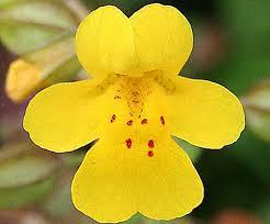 Mimulos - flor de bach