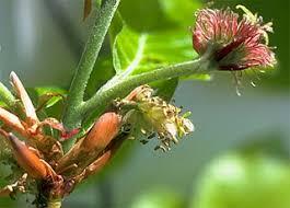Oak - flor de bach