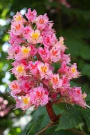 Red Chestnut - flor de bach