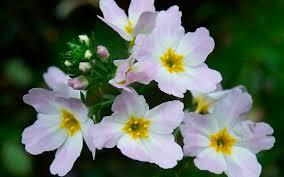 Water Violet - flor de bach