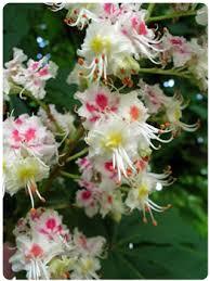 White Chestnut - flor de bach