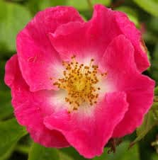 Wild Rose -flor de bach