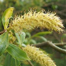 Willow - flor de bach