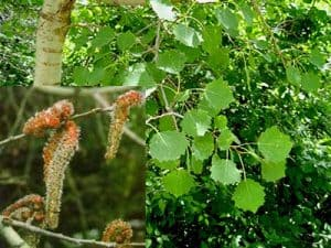 alamo temblon - flor de bach