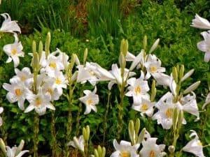 recoger azucena en jardin