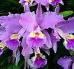 significado cattleya lila y morada