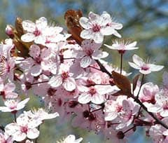 cerasifera - flor de bach