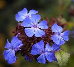 cerato - flor de bach