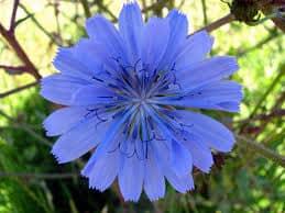 chicory - flor de bach