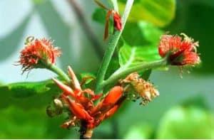 haya - flor de bach