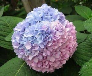 hortensia y sus significados