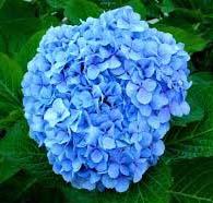 significado hortensia_azul