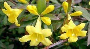 significado del jazmin amarillo