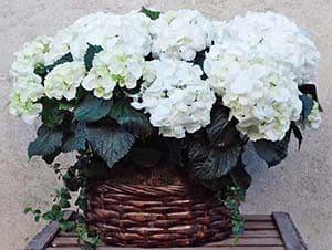 regalo de hortensias blancas