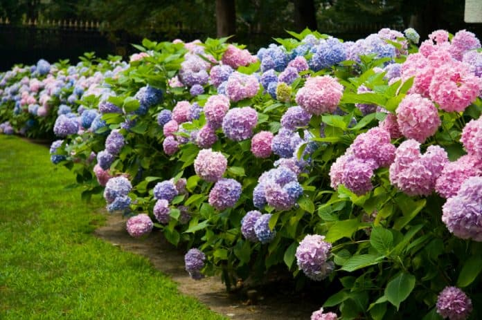 significado de la flor hortensia