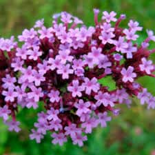 vervain - flor de bach