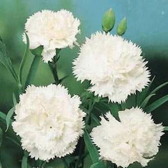 significado de los claveles blancos